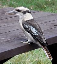 213px-Kookaburra