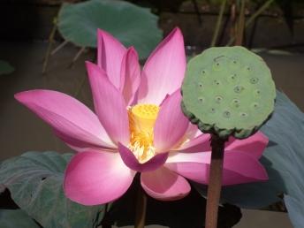 Die Lotusblüte, die in nur wenigen Tagen so aussehen wird, wie die Samenkapsel ihrer bereits verblühten Schwester.